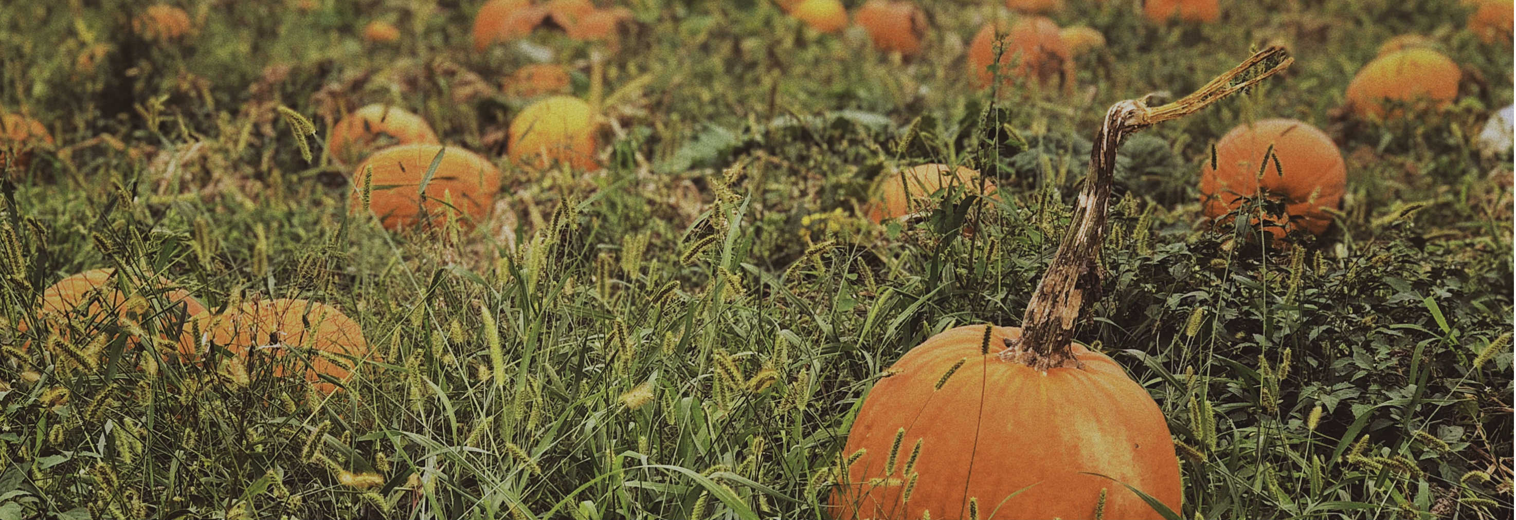 pumpkins in a field